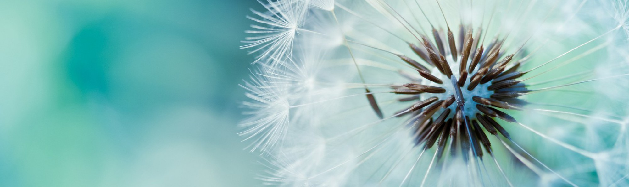 dandelion communications